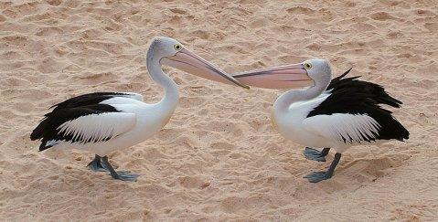 Pelikane am Strand - Ute Scheller, Reisebegleitung Australien