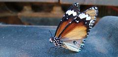 Australien Reisen Anders - Schmetterling im Outback