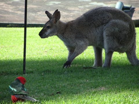 Kangaroo and Lorikeet